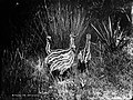 Young emus, NSW (2362652089).jpg