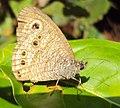 Ypthima baldus – Common Five-ring 11.JPG