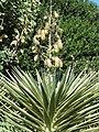 Yucca aloifolia - J. C. Raulston Arboretum - DSC06212.JPG