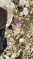 Zakynthos flora (35104148563).jpg