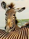 Zebra resting its muzzle on another zebra's back.jpg