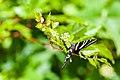 Zebra swallowtail (19702964171).jpg