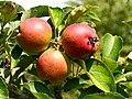 Zomer zijden hemdje appel. Oud appelras. Locatie De Kruidhof.JPG
