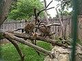 Zoopark Zajezd CZ Eulemur fulvus fulvus 082.jpg