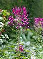 'Cleome hassleriana' - West Garden - Hatfield House - Hertfordshire England.jpg