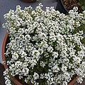 'Giga White' alyssum IMG 5047.jpg