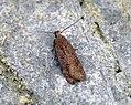 (0787) Bryotropha terrella (7484900816).jpg