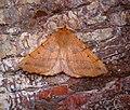 (1923) Feathered Thorn (Colotois pennaria) (36666759964).jpg