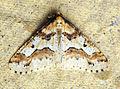 (1935) Mottled Umber (Erannis defoliaria) (15435356469).jpg