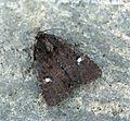 (2343a) Lesser Common Rustic (Mesapamea didyma) (7630249492).jpg