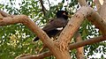 (Acridotheres tristis) Common myna spotted at Madhurawada 02.JPG