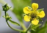 (MHNT) Geum urbanum - Buds and flower.jpg
