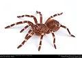 (Pet) Brazilian whiteknee tarantula (Theraphosidae, Acanthoscurria geniculata) (36668450563).jpg