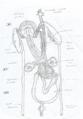 Órgão reprodutores de Hirudo. Os testículos estão associados ao ducto deferente em segmentos posteriores,.png