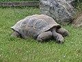 Želva sloní.jpg