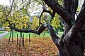 Ботанический сад. Яблоня маньчжурская.jpg