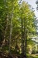 Бук лісовий. Карпати.jpg