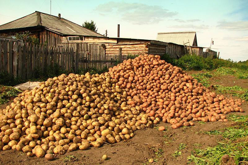 Góra ziemniaków na wsi syberyjskie, w omskiej