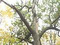 Верхівка Свіріпчаного дуба.jpg