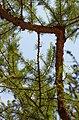 Ветка Сибирской Лиственницы.jpg