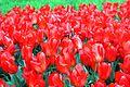 Виставка тюльпанів 04.JPG