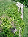 Вишнівець.Замкові мури у зелені.JPG
