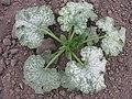 Гарбуз звичайний - Сріблясті розсічені листки.jpg