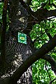 Дуб Янати DSC 0934.jpg