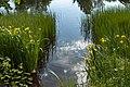 Ирисы болотные, озеро Вероярви.jpg