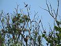"""Колонія великих бакланів (Phalacrocorax carbo) на о.Круглик. """"Птеродактилі"""" Канівського заповідника.jpg"""