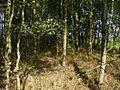 Осиновый пролесок - panoramio.jpg