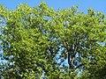 Пушкин, Софийский бульвар, цветущее дерево.jpg