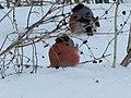 Снегири прилетели из леса. Чистополь. РТ. Февраль 2011 - panoramio.jpg