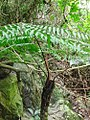 Циатея мелкоколючковая - Cyathea spinulosa.jpg