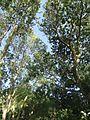 Эвкалипты - panoramio (1).jpg