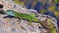 Ящірка зелена. Бабурка.jpg