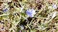 פרח כחול ב.jpg