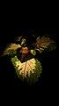 گل و برگ گیاه حسن یوسف-Coleus 03.jpg