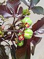 காட்டாமணக்கு- 4 1(Jatropha curcas).jpg