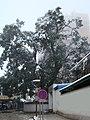 中心街黄桷树 - panoramio.jpg
