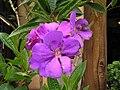 光榮花(角莖野牡丹) Tibouchina granulosa -香港迪士尼樂園 Hong Kong Disneyland- (9198098591).jpg