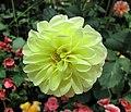 大麗花-球型 Dahlia 'Pompon' -新加坡濱海灣花園 Gardens by the Bay, Singapore- (24774164575).jpg