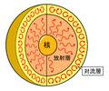 太陽内部の放射層と対流層.PNG