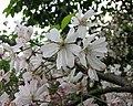 思川櫻 Cerasus subhirtella 'Omoigawa' -上海植物園 Shanghai Botanical Garden- (17243692492).jpg