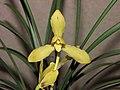 春蘭黃梅 Cymbidium goeringii 'Yellow Prune' -香港沙田國蘭展 Shatin Orchid Show, Hong Kong- (12317105814).jpg