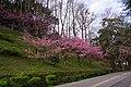 櫻花 Cherry blossoms - panoramio (1).jpg