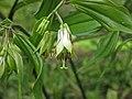 玉竹 Polygonatum odoratum -武漢植物園 Wuhan Botanical Garden- (9219893931).jpg