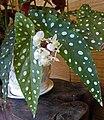 竹節秋海棠 Begonia maculata -香港公園 Hong Kong Park- (9190633183).jpg