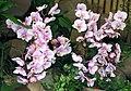 蝴蝶蘭 Phalaenopsis Sogo Genki -香港花展 Hong Kong Flower Show- (9227007225).jpg