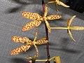 豹斑火焰蘭(小美女腎藥蘭) Renanthera monachica -香港青松觀蘭花展 Tuen Mun, Hong Kong- (9213337809).jpg